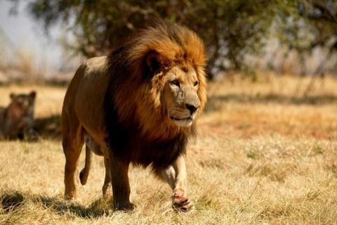 aslanlarla ilgili bilinmeyenler.jpg