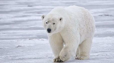 kutup ayıları bilinmeyenler.jpg